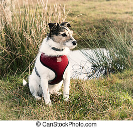 Working Terrier - Working Jack Russell Terrier wearing a red...