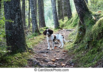 working type english springer spaniel stood in a wood
