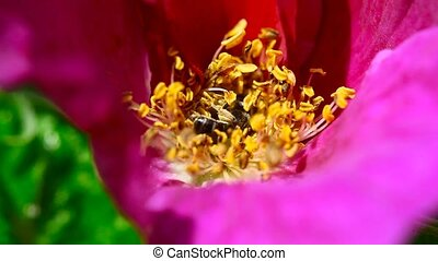 Working wasp. - Wasp on a flower of wild rose.