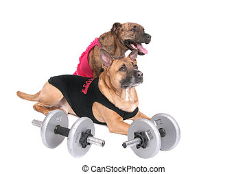 workout dogs - a strong workout dog in outfit with his...