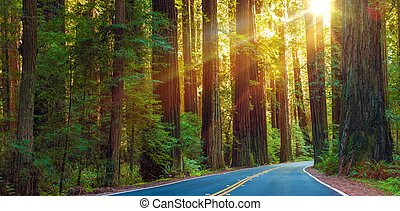 World Famous Redwood Highway in Northern California, United States. Sun Between Redwood Trees.