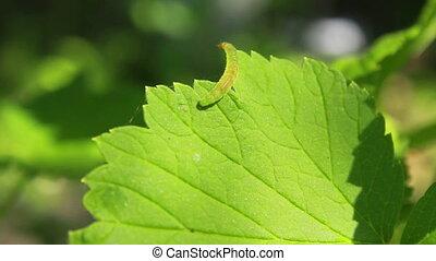 Worm on Leaves