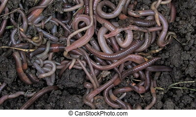 Worms 1 - Close-up of multiple earthworms crawling through...