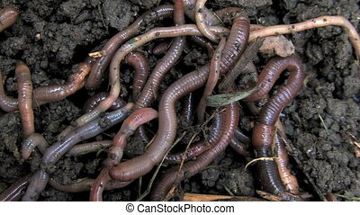Worms 2 - Close-up of multiple earthworms crawling through...