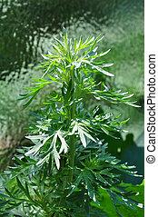wormwood, (artemisia, absinthium)