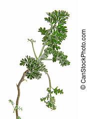 Wormwood (Artemisia absinthium) - Young shoot tip of ...