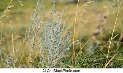 Wormwood swaying in wind in the steppe - Wormwood swaying in...
