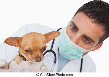 Worried male vet holding a cute chihuahua