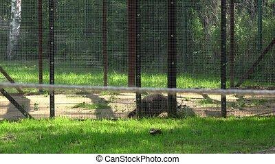 worried raccoon animal walking in zoo garden cage. - worried...