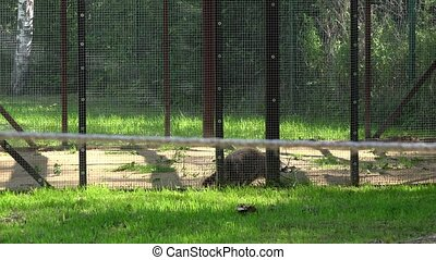 worried raccoon animal walking in zoo garden cage. - worried...
