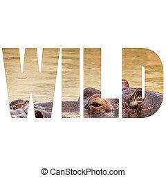 wort, wild, afrikanisch, nilpferd, in, ihr, natürlich, habitat.