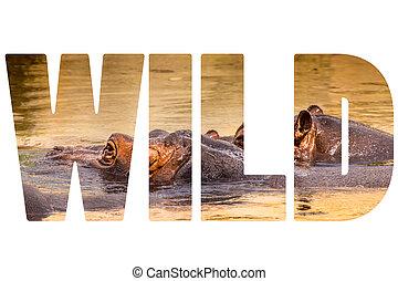 wort, wild, aus, afrikanisch, nilpferd, in, ihr, natürlich, habitat.