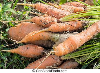 wortels, tuin