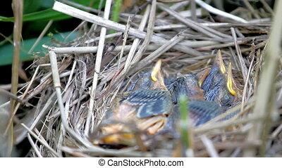 Woven from grass nest of Sedge Warbler (Acrocephalus...