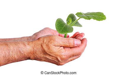 wręczać dzierżawę, niejaki, młody, ogórek, sapling, troszcząc ponieważ, rośliny
