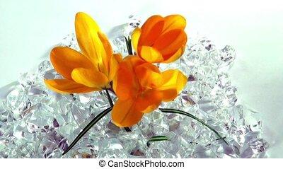 wrakkigheid, bloemen, krokus, opening, tijd