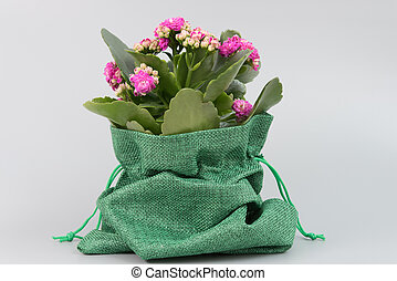 Wrapping a beautiful blooming flower in a pot as a gift. Green burlap. Congratulations concept, March 8, Mother's Day, Teacher's Day, September 1, Birthday, Anniversary