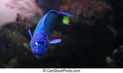 Wrasse in the decorated Marine Aquarium - Wrasse in the...