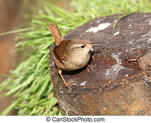 Close up of a wren on a tree trunk