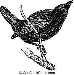 Wren or Troglodytes sp., vintage engraving