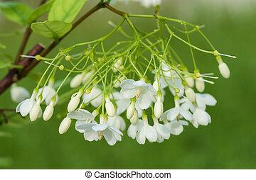 Apocynaceae - Wrightia religiosa (Apocynaceae) flowers...