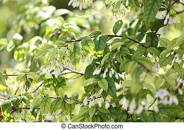 Wrightia religiosa Benth tree (Apocynaceae) in the garden...