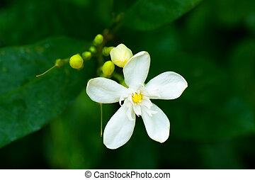 Wrightia sp., Apocynaceae