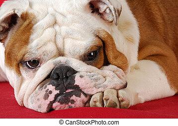 english bulldog - wrinkle dog - adorable english bulldog...