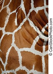 Wrinkled giraffe skin - Close up of a giraffe's brown and...