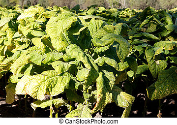 Wrinkled leaves of tobacco