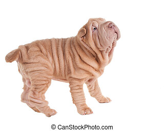 Wrinkled sharpei puppy playing, looking up, isolated on white background