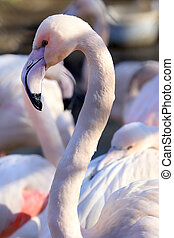WROCLAW, POLAND - JANUARY 21, 2020: The American flamingo (Phoenicopterus ruber). It is the only flamingo that naturally inhabits North America. ZOO in Wroclaw, Poland.