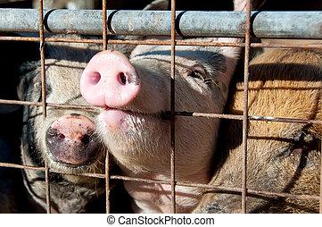 wsadzony do klatki, świnie