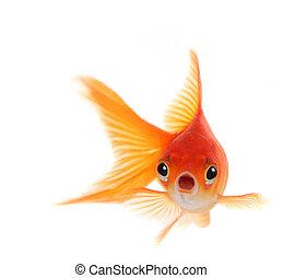 wstrząśnięty, złota rybka, odizolowany, na białym, tło