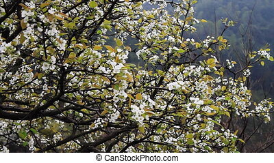 wuyuan55.mov - pear flower at the foot of the mountain