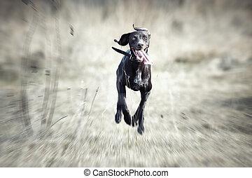 wyścigi, pies, szczęśliwy