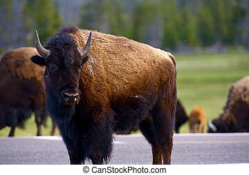 Wyoming Bison. Yellowstone National Park Wildlife - American...