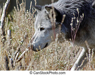 Wyoming Gray Wolf in tall grass.