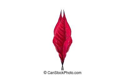 wysuszający, czerwony liść, łuk, kierunek, dwa, wpływy, ...