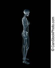 x 線, x 線, の, ∥, 人間, 女性, body.