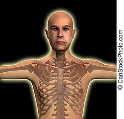x raggio, torso, uomo