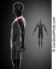 x--ray, 黒, 鎖骨, 骨走査