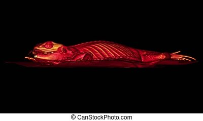 CT scan of a Bearded dragon pet on a black background with muscles and bones. Oncologist veterinary diagnostic x-ray test. Exotic veterinarian tomography scan test on a Pogona vitticeps reptile.