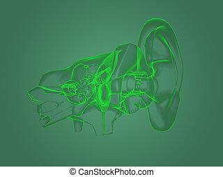 X-ray ear anatomy