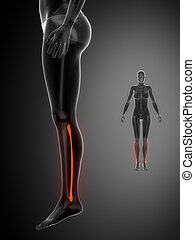 x--ray, fibula, pretas, varredura osso