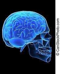 x-ray head - 3d rendered x-ray illustration of human head...