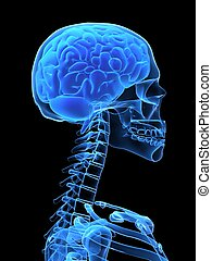 3d rendered x-ray illustration of human head with brain