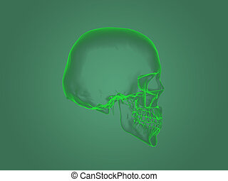 X-ray head anatomy