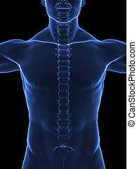 Human body with visible spine - front view