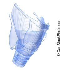 x-ray larynx - 3d rendered x-ray illustration of human...